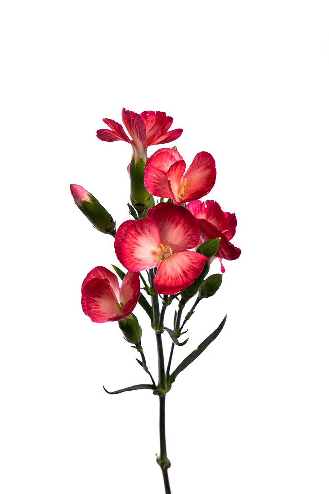 Carnation Mini Red Solomio