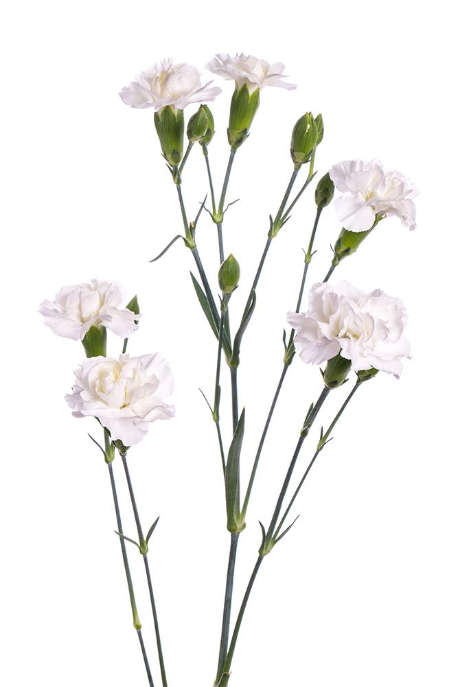 Carnation Mini White Blanquita