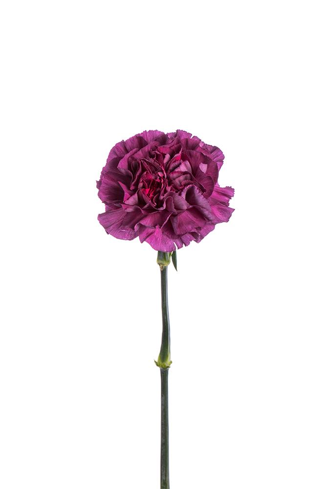Carnation Bicolor Purple Mohave