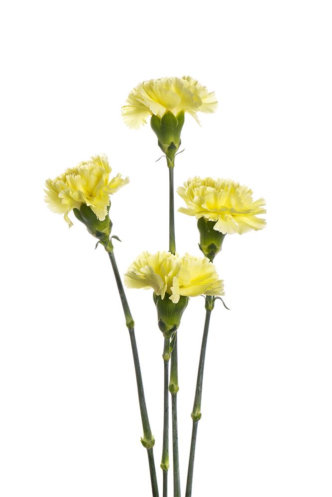 Carnation Green Giole