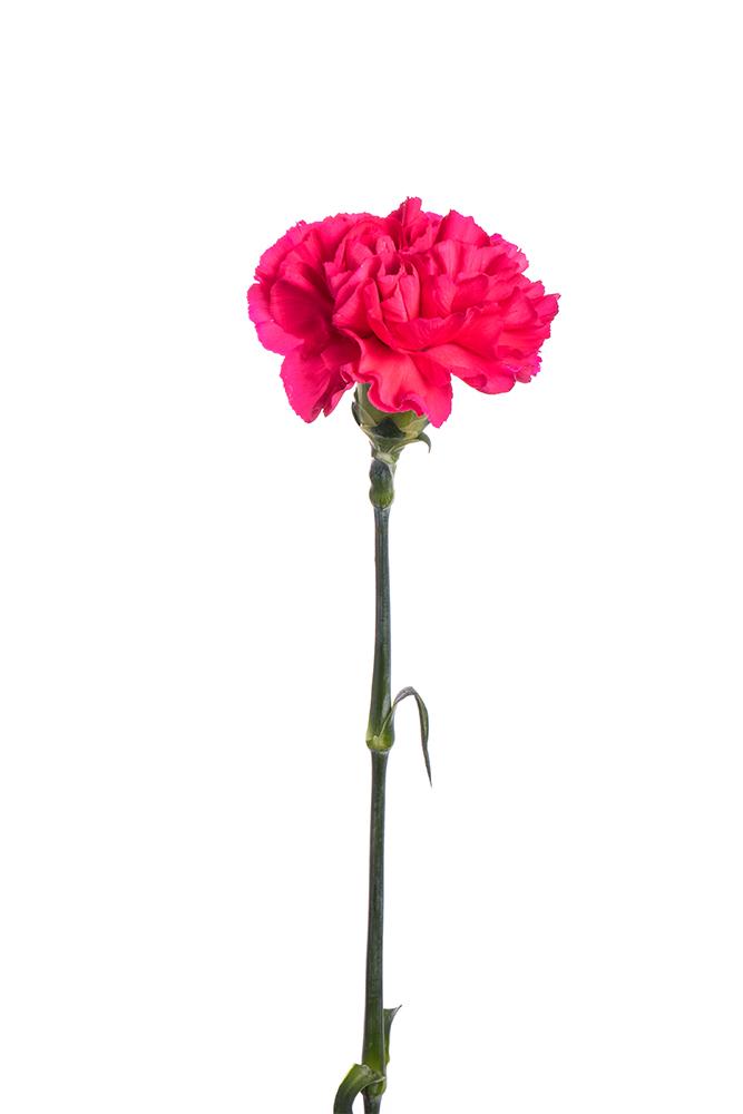 Carnation Hot Pink Mandalay