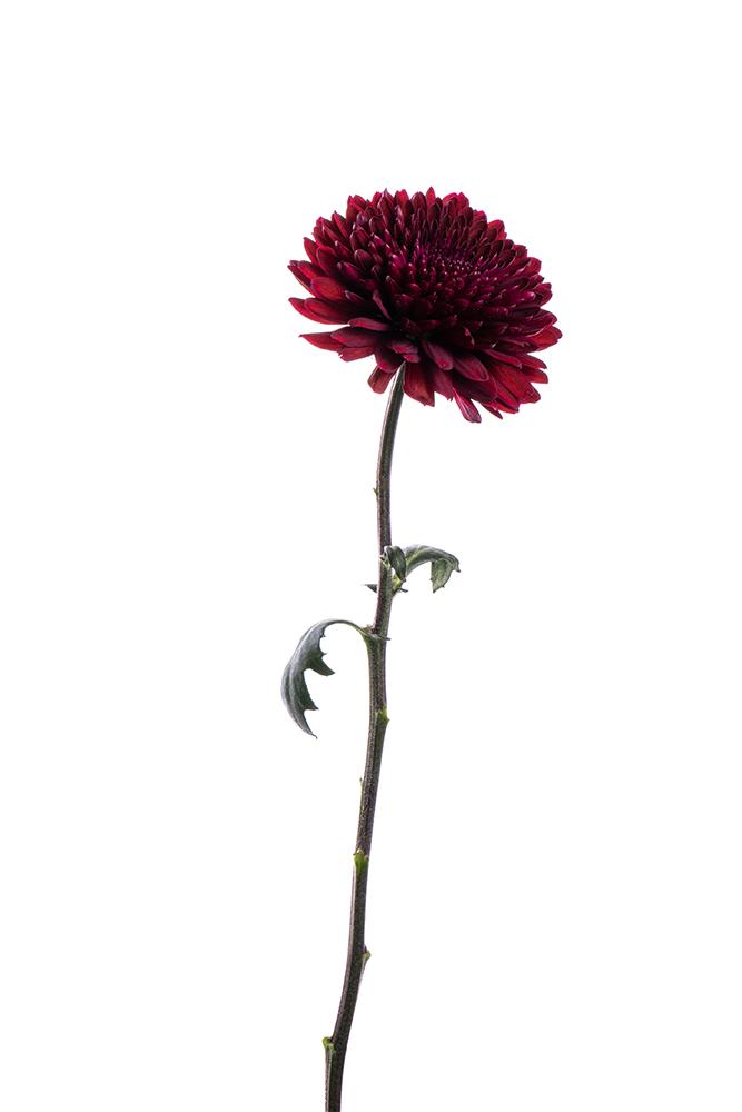 Cremon Dark Red Burgundy Ganache Esfera