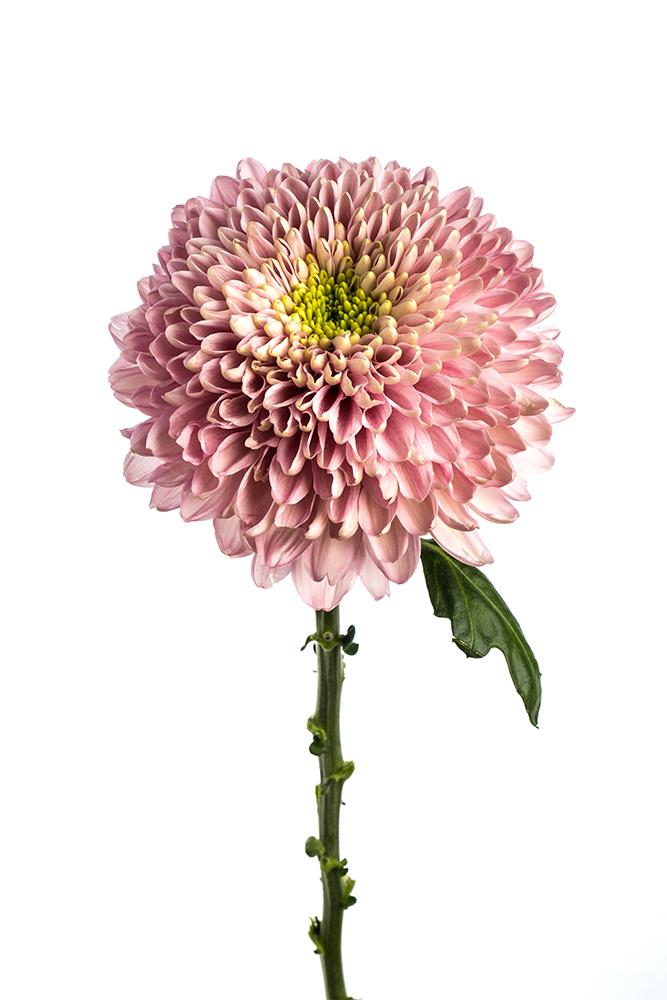 Cremon Lavender Magnum Rosy