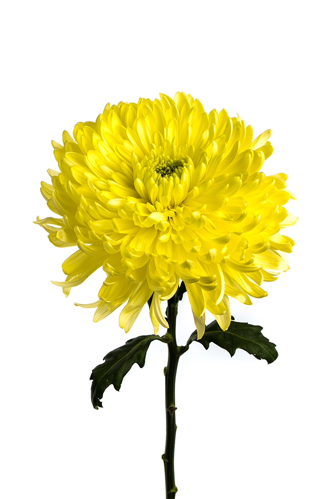 Cremon Yellow Astroid Football Mum