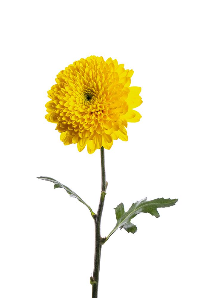 Cremon Yellow Sunny Esfera