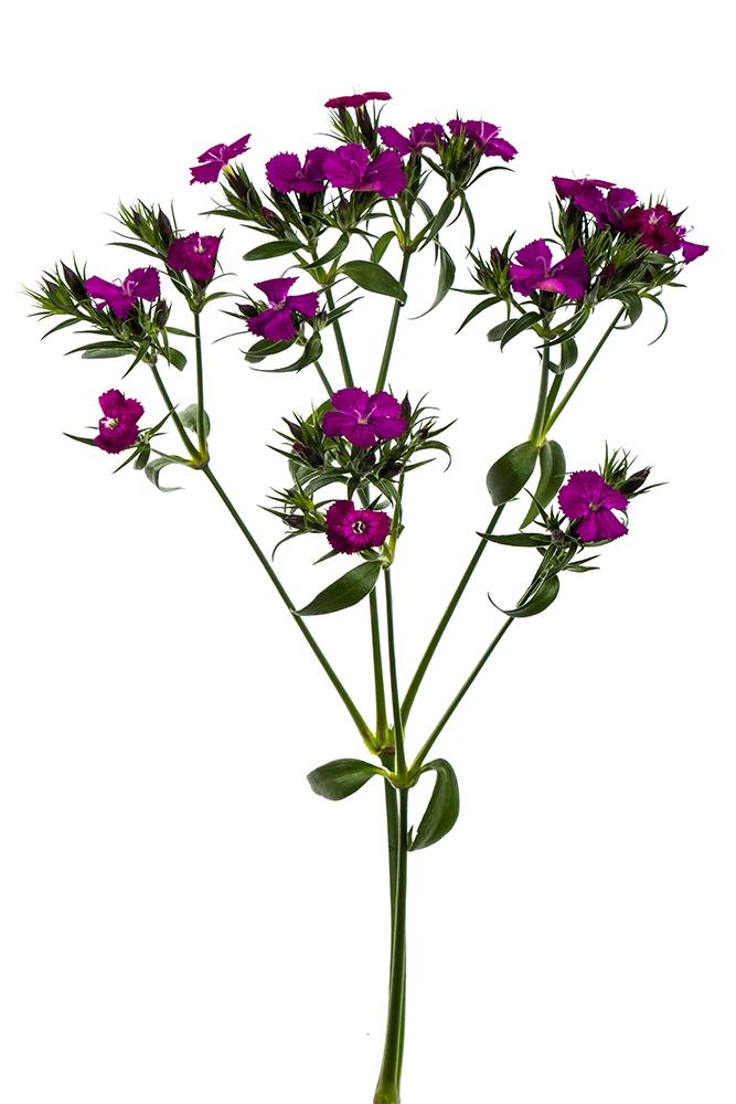 Dianthus Amazon Neon Purple