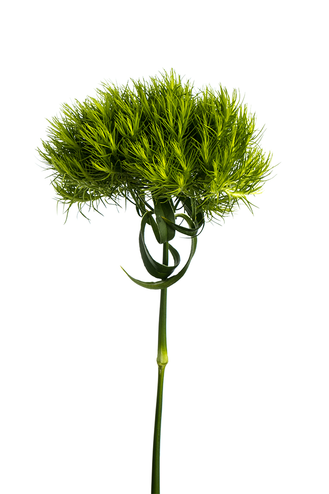 Dianthus Green Greenball 2