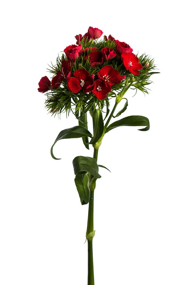 Dianthus Red Breanthus 2