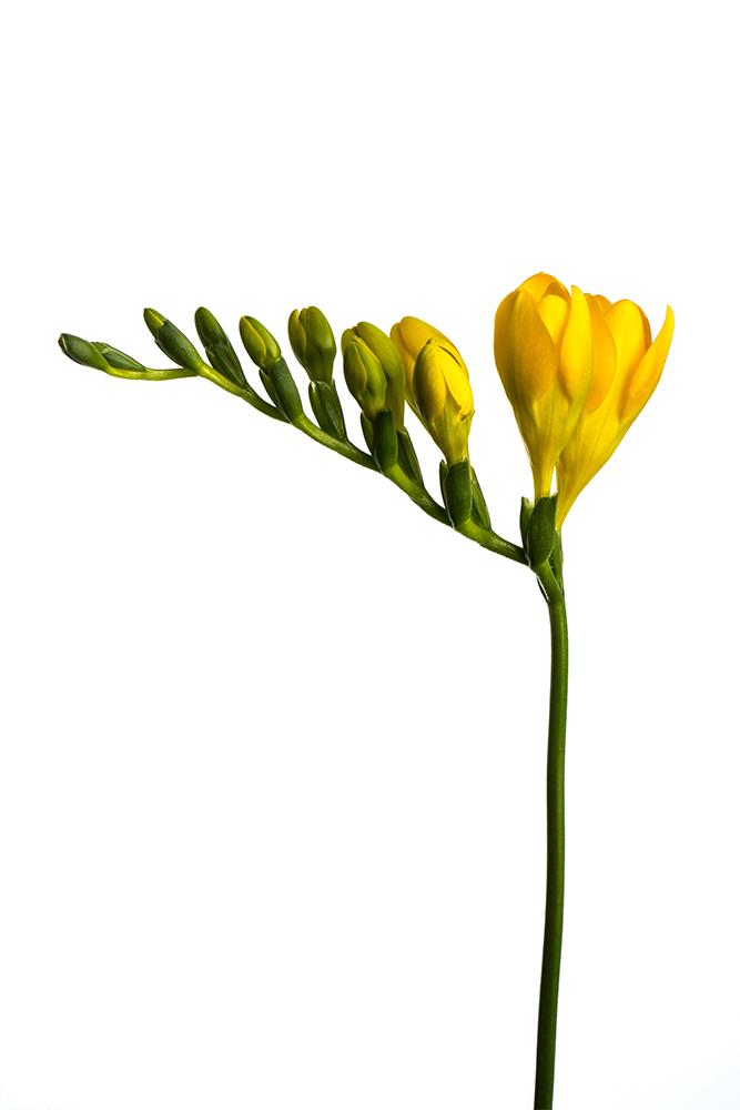 Freesia Yellow Soleil 2