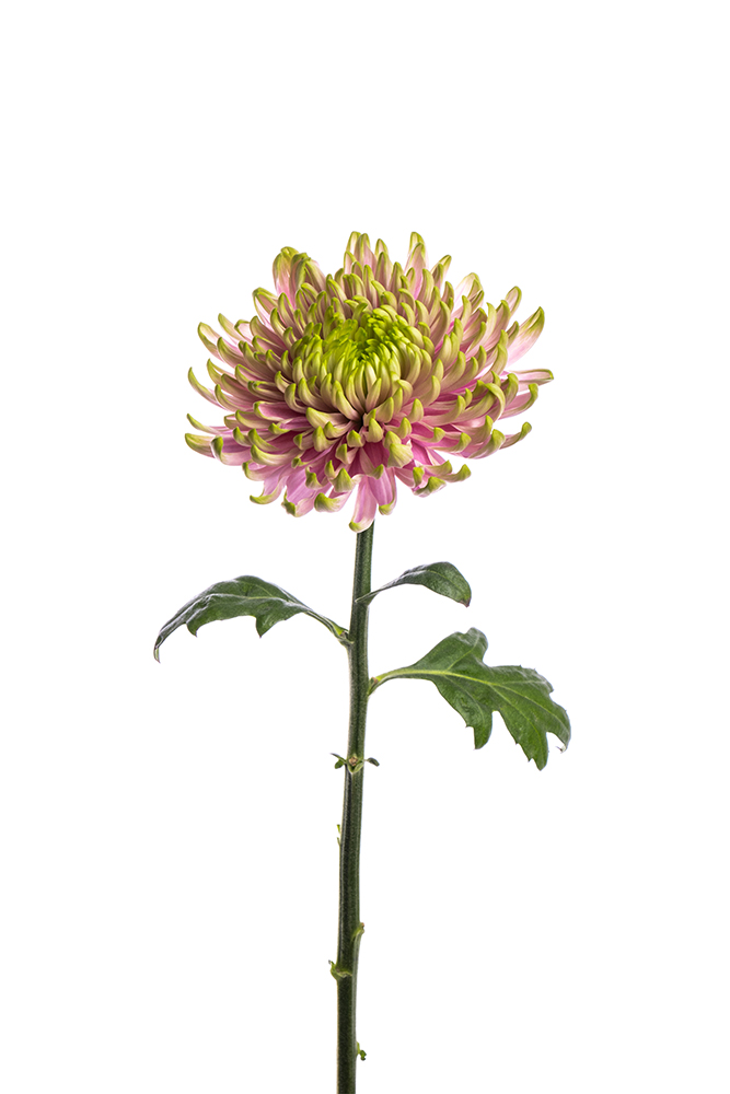 Fuji Bicolor Green-Lavender Rossano Charlotte