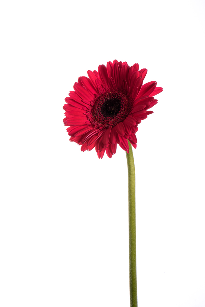 Gerbera Daisy Dark Red Intenza 2