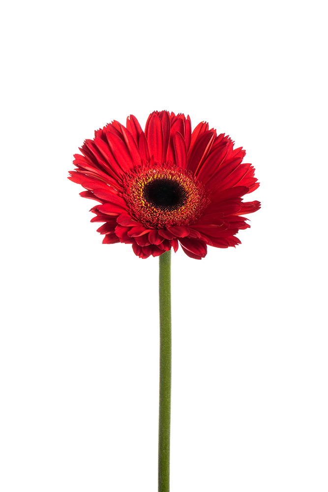Gerbera Daisy Red Inferno 1