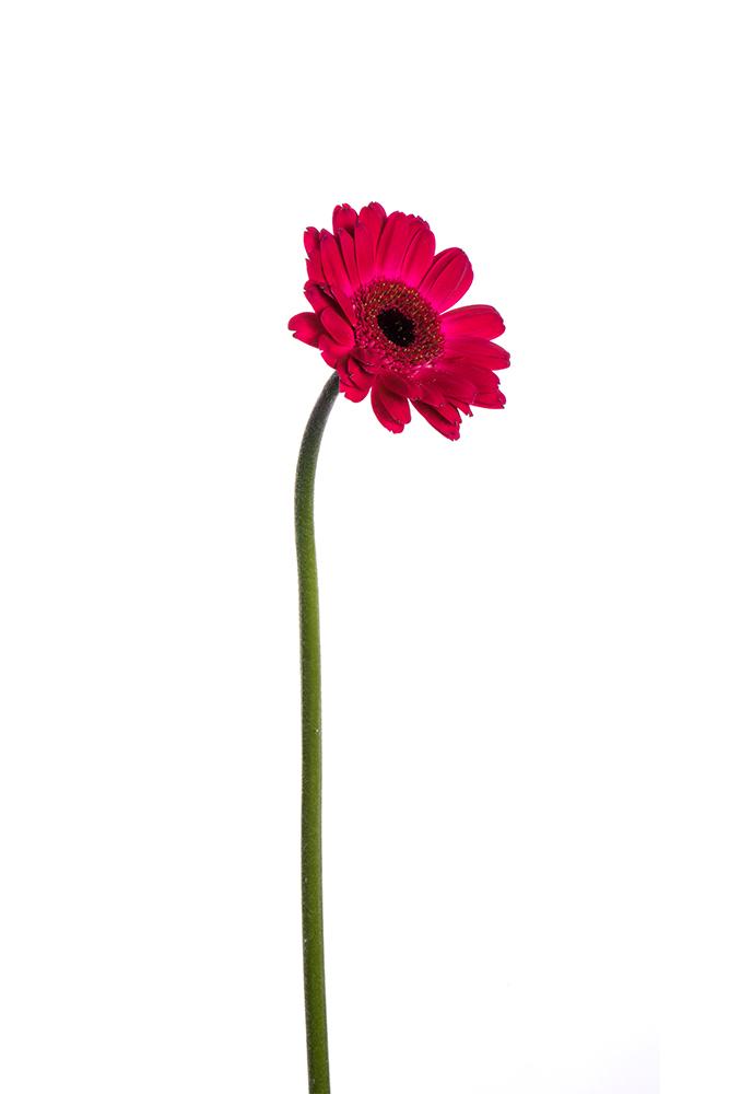 Gerbera Mini Hot Pink Rowan 3