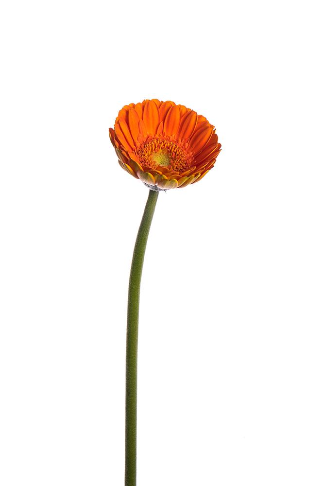 Gerbera Mini Orange Olivia 1