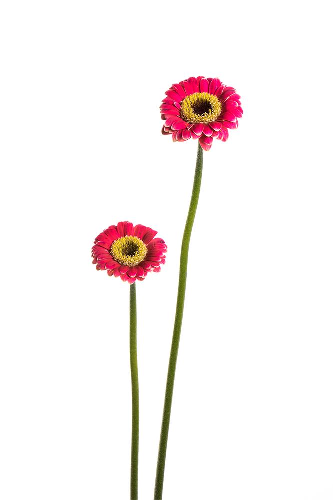Gerbera Piccolini Hot Pink Ustica