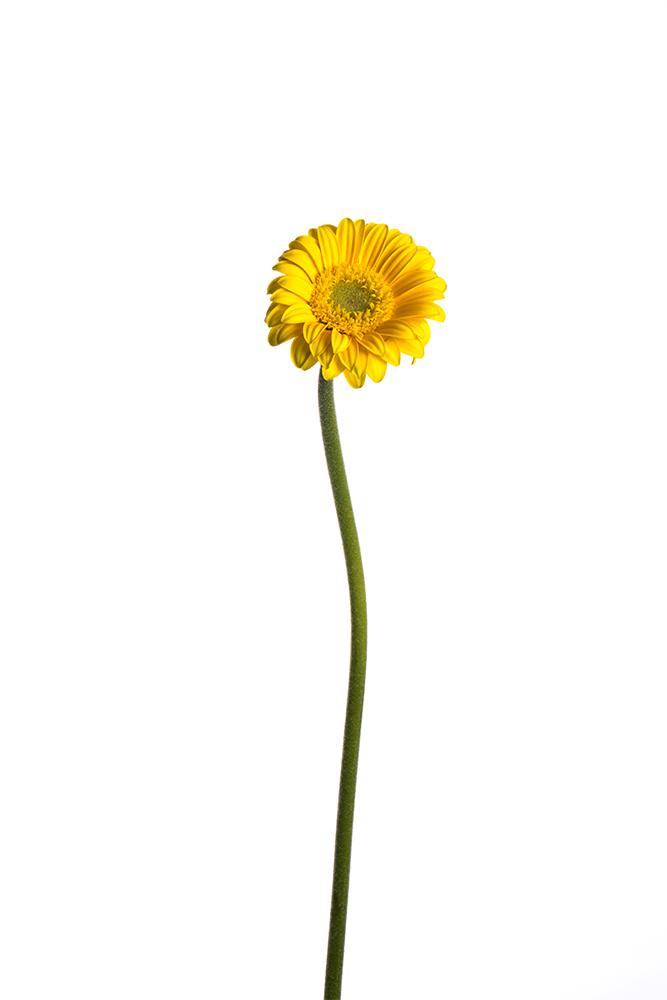 Gerbera Piccolini Lampione Yellow