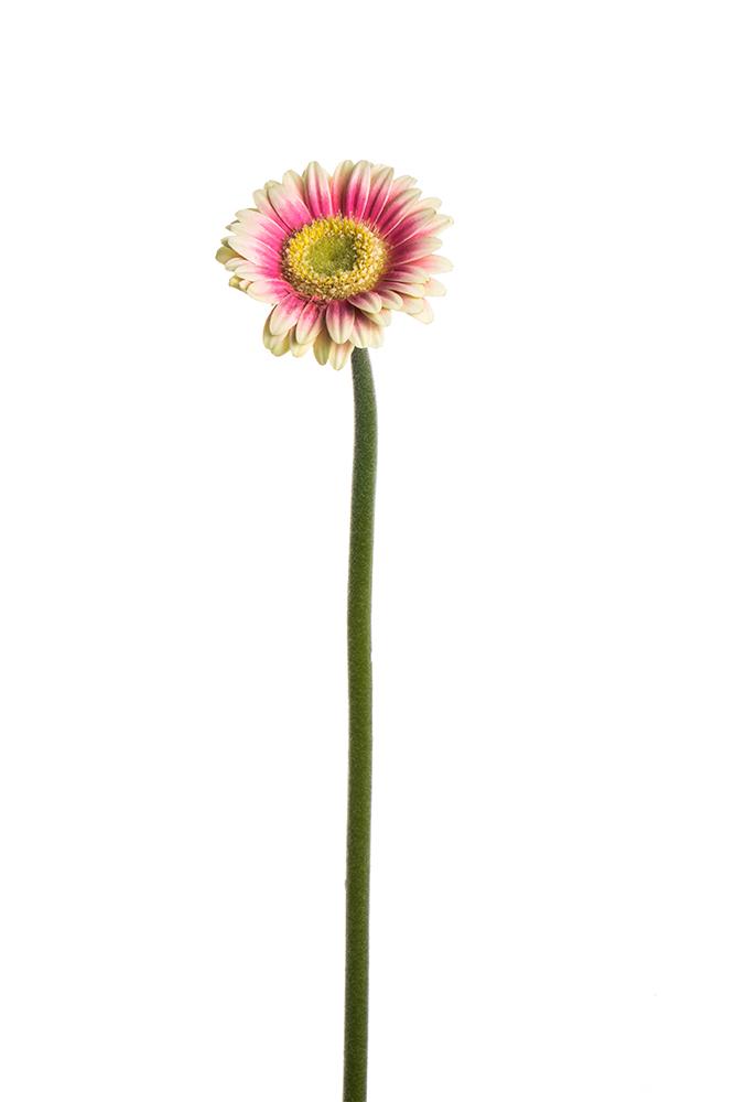 Gerbera Piccolini Pink-White Linosa