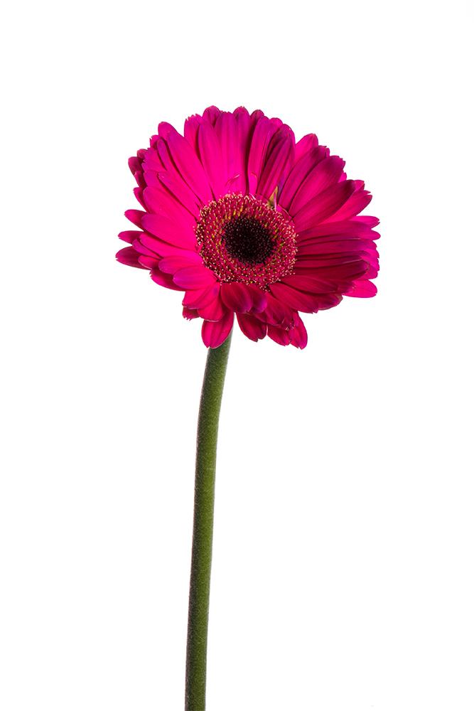 Gerbera Hot Pink Malibu 1