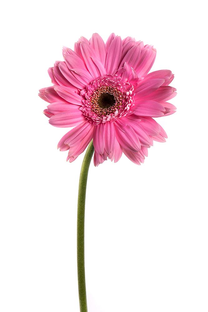 Gerbera Hot Pink Memphis