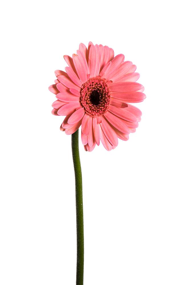 Gerbera Mini Pink Yuki