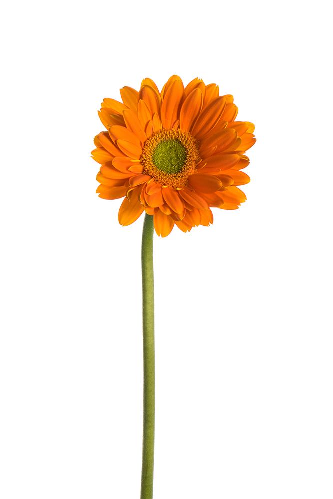 Gerbera Orange Fan 2