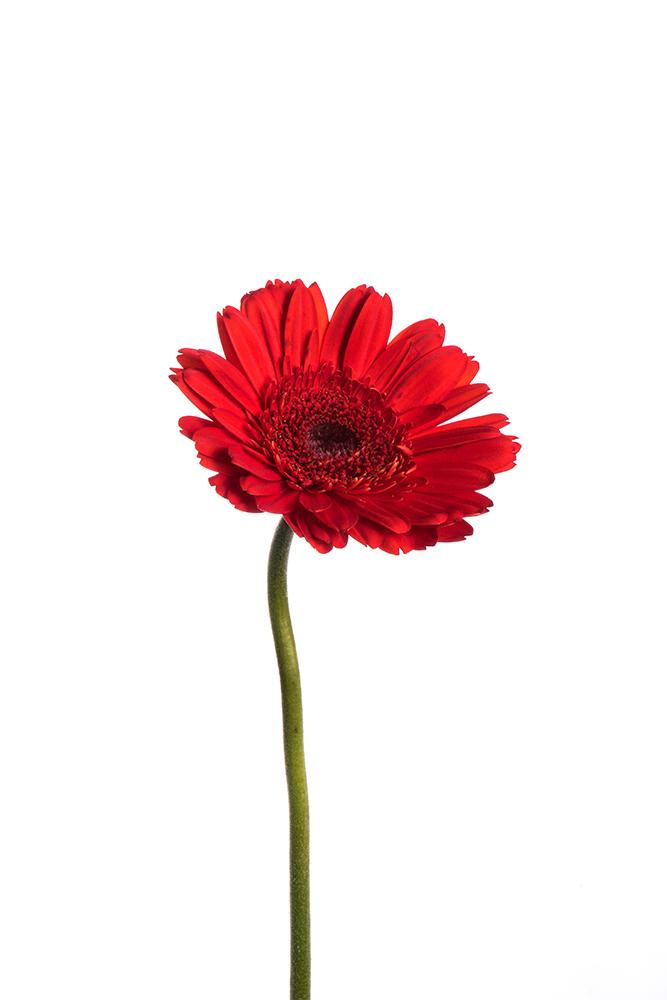 Gerbera Red Sarinah 2