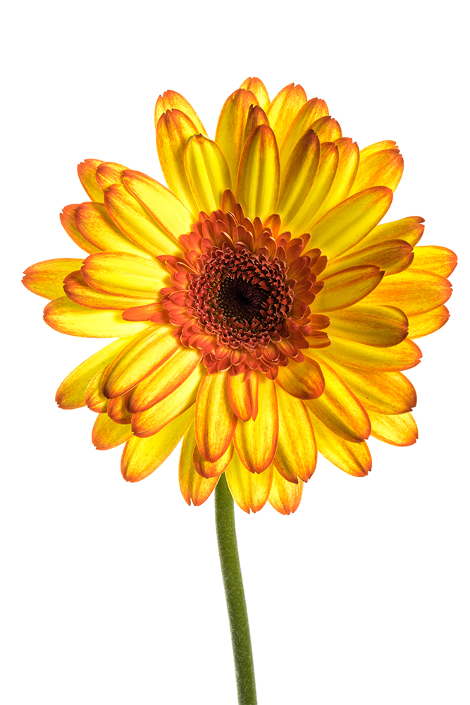 Gerbera Yellow-Orange Mariyo 3