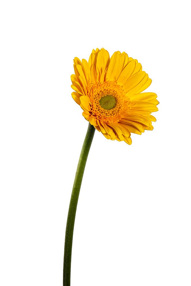 Gerbera Yellow Aventura 2
