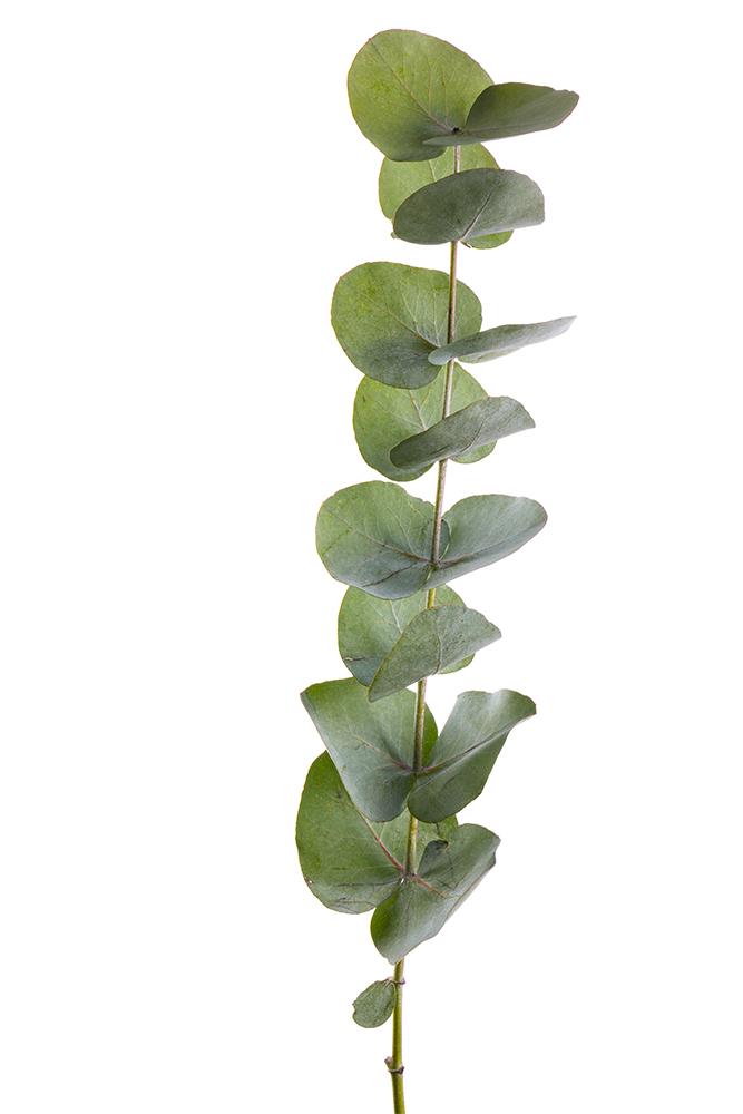 Green Baby Blue Eucalyptus 2