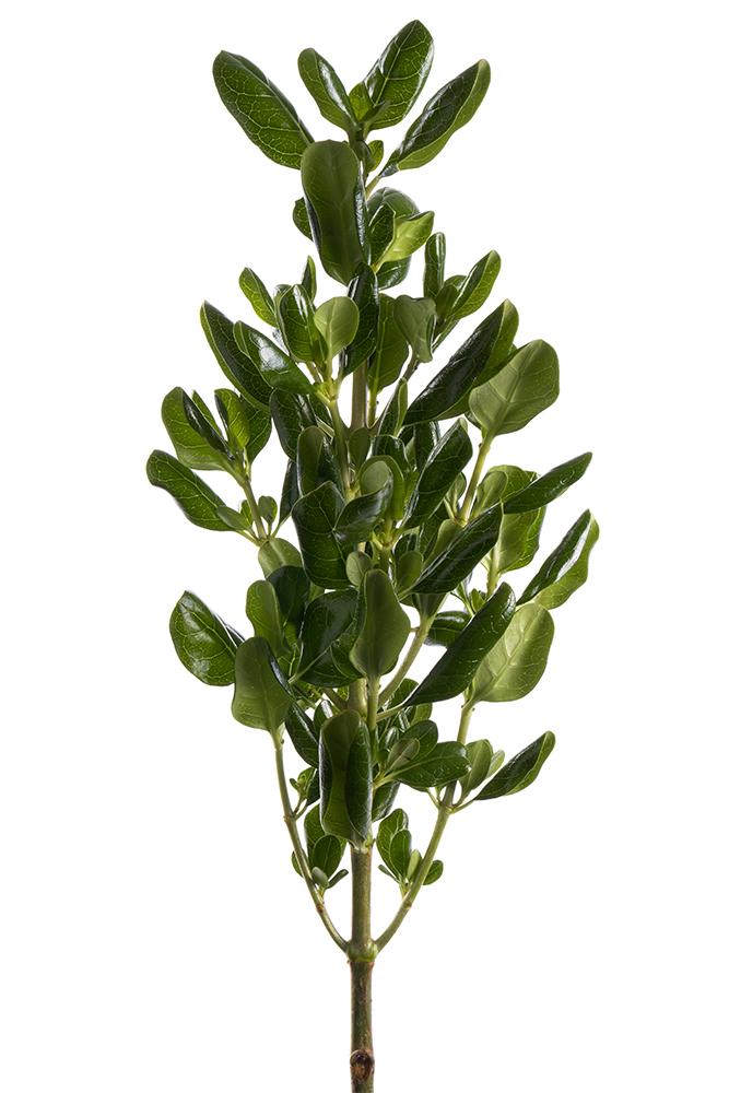 Green Brilliantine