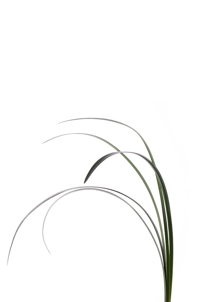 Green Lily Grass