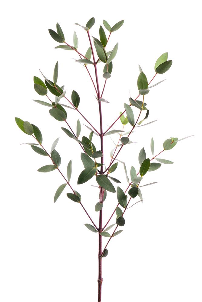 Green Parvifolia Eucalyptus