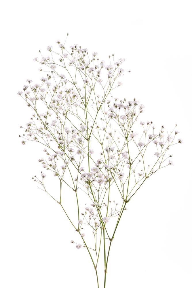 Gypsophila White Mirabella 1