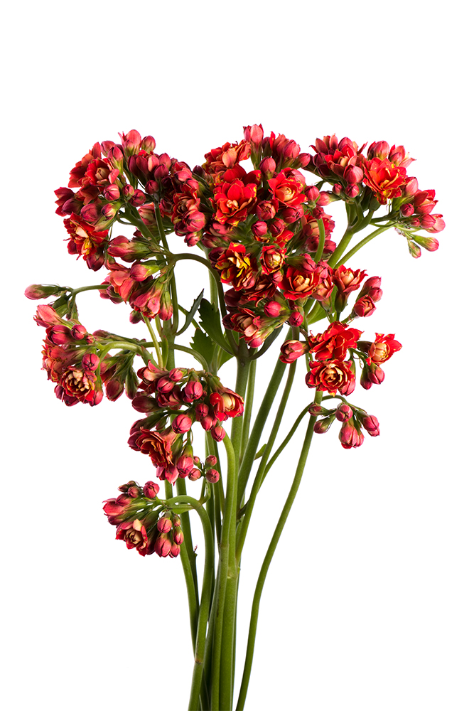 Kalanchoe Red Pretty Red 2