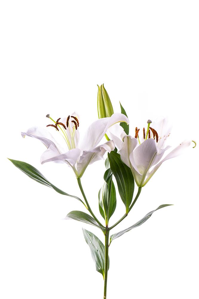 Lily Oriental White