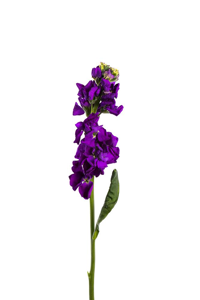 Stock Purple Iron