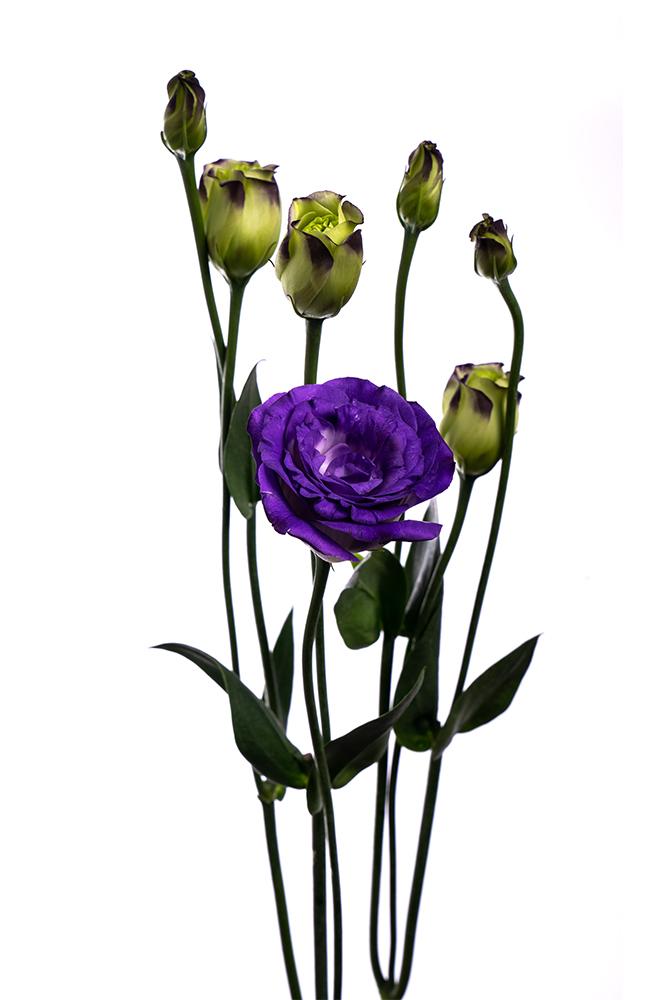 Lisianthus Purple Doublini Blue