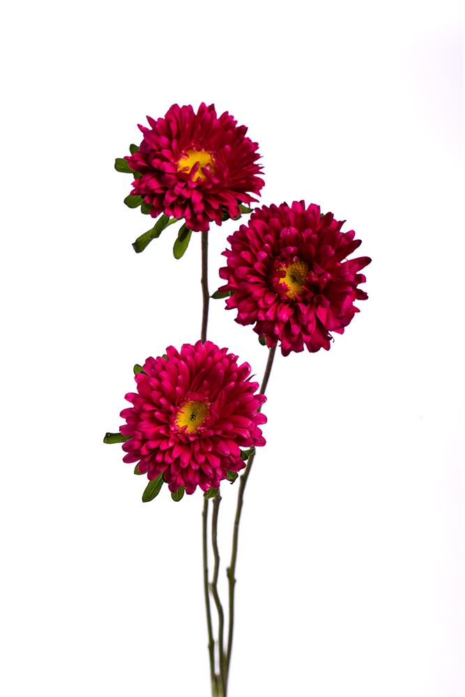 Matsumoto Hot Pink Aster Rose
