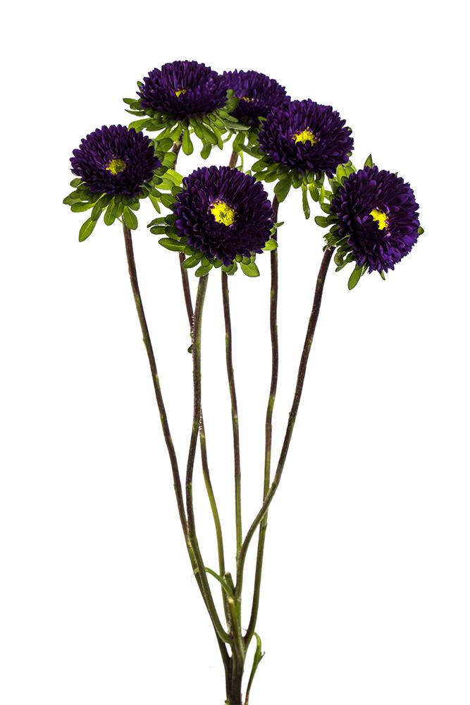 Matsumoto Purple Calistefus 2