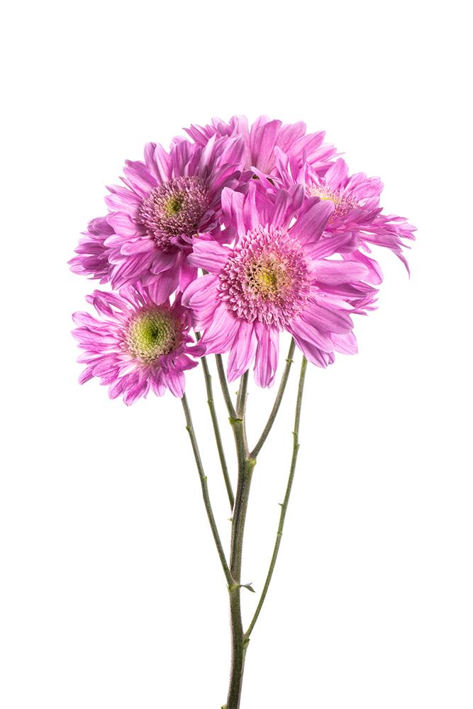 Pom Novelty Lavender Precious