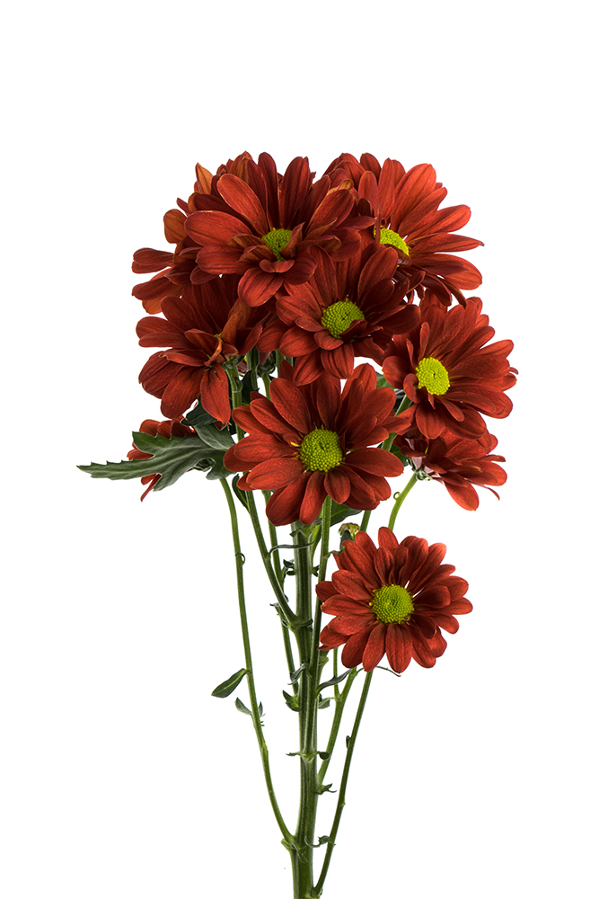 Pom Daisy Dark Red Bronze Rosalinda