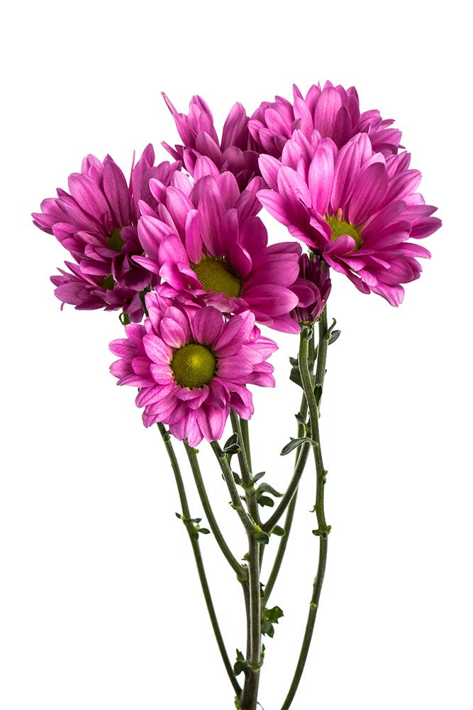 Pom Daisy Lavender Aneto