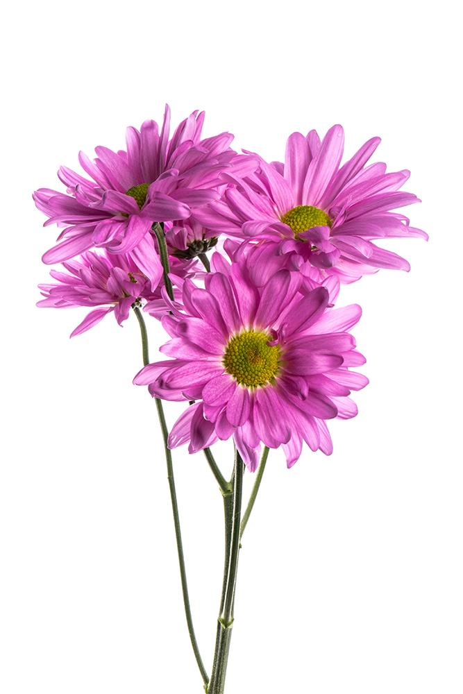 Pom Daisy Lavender Atlantis Dark Pink