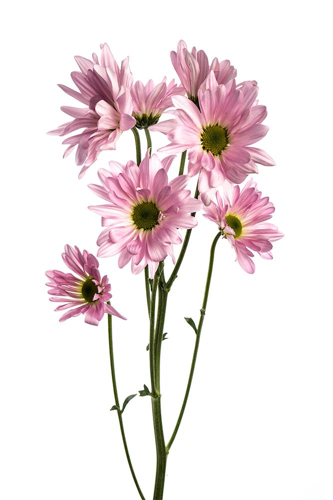 Pom Daisy Lavender Pink Atlantis