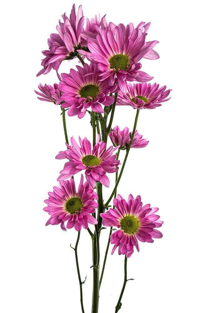 Pom Daisy Lavender Atlantis Dark Pink 2