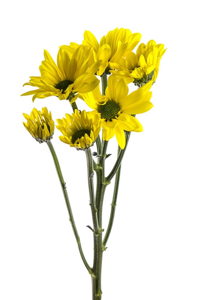 Pom Daisy Yellow Celebrate