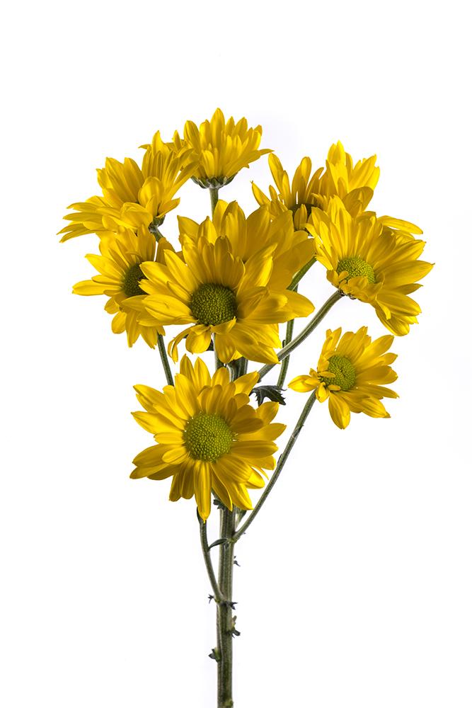 Pom Daisy Yellow Felina