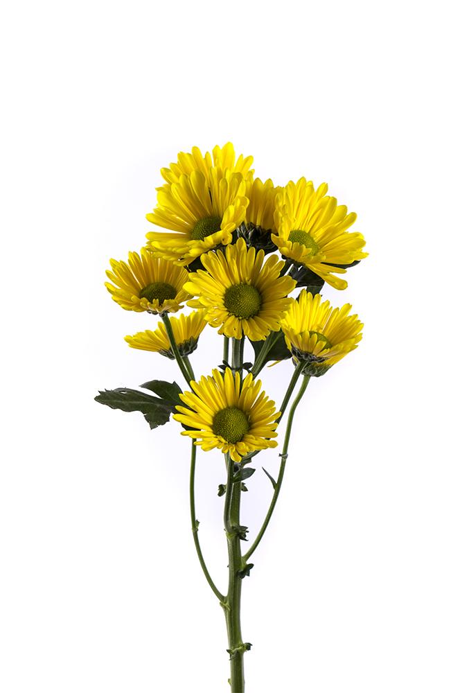 Pom Daisy Yellow Piolin