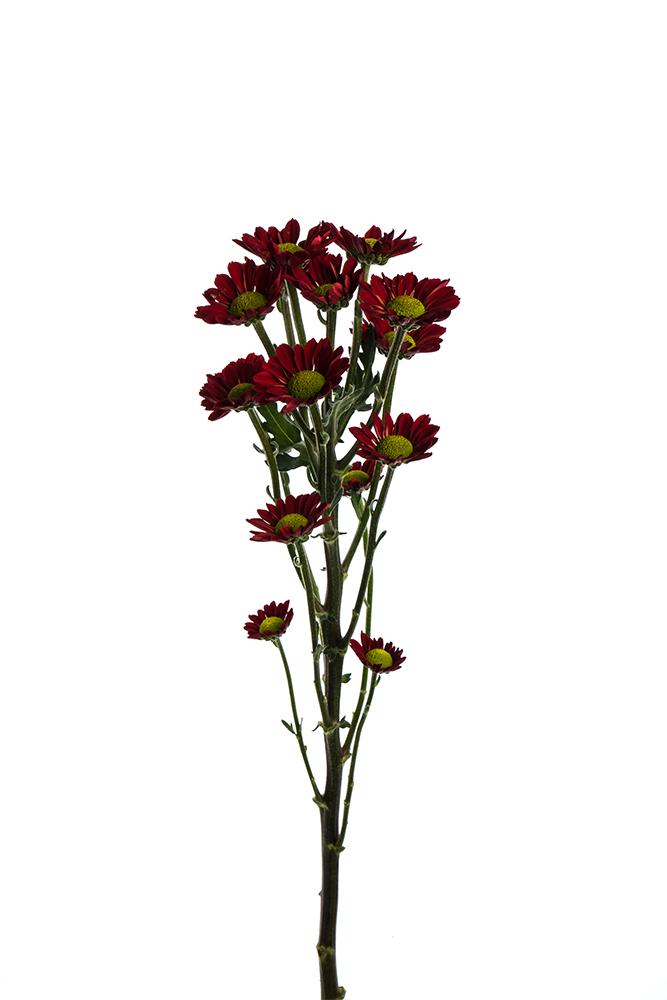 Pom Novelty Red Bronze Picante