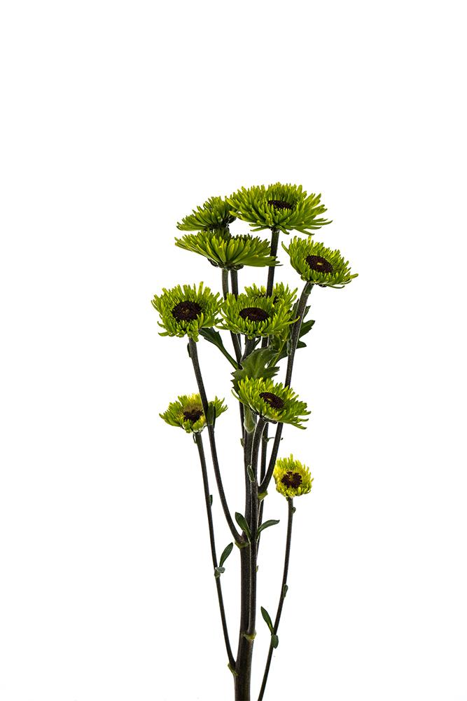 Pom Novelty Green Peridot